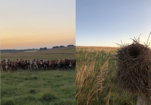 Figure 1: Left: Braford cattle on native Pampa grasslands. Right: bird nest on top of a fence in the middle of a native grassland, with several native plant species blooming in the background. The Pampas provide habitat for hundreds of bird species that rely directly on its preservation.